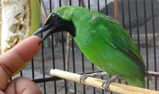 cucak hijau mangap