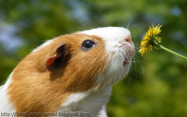 Guinea pig and flower.