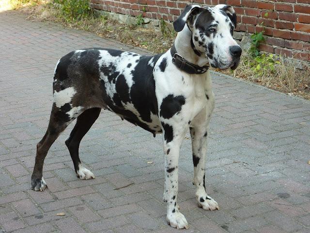 World's deadliest dog breeds