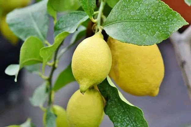 नींबू किन किन बीमारियों में है फायदेमंद |Which Disease Are Cured Lemon | Nimbu ke fayde