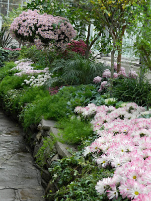 Pastel pink mums at Allan Gardens Conservatory 2015 Chrysanthemum Show by garden muses-not another Toronto gardening blog