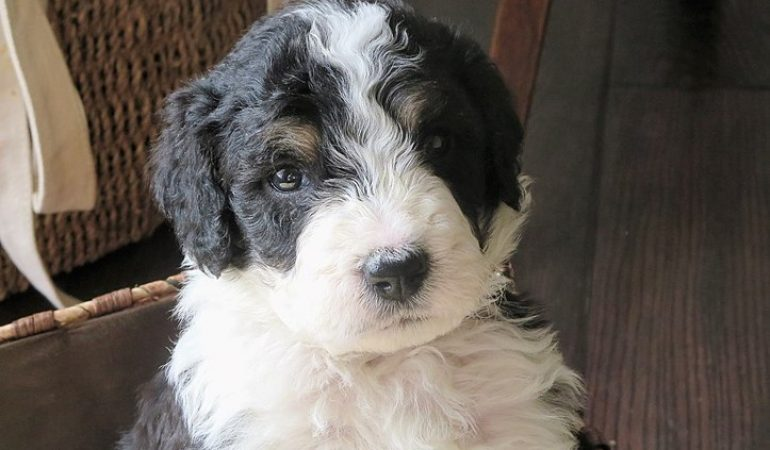 Bernedoodle Breeders in Connecticut Ct