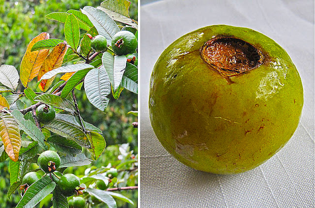 Psidium_friedrichsthalianum%252C_the_Wild_Guava_%252810841338553%2529.jpg