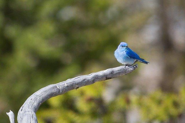 burung mountain bluebird