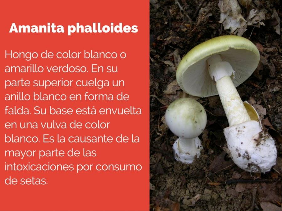setas venenosas, setas tóxicas, Amanita phalloides