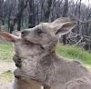 Estimativas apontam que 480 milhões de animais morreram nos incêndios da Austrália