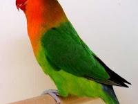 Fakta Unik Burung Lovebird