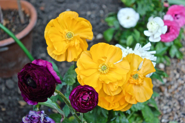 A row of Ranunculus flowers in all shades