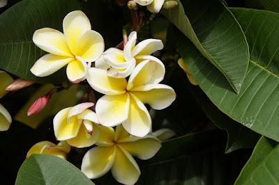 Flower, Frangipani, plumeria, frangipani flower, plumeria flower, japan frangipani, adenium,