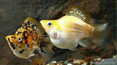 ikan hias aquarium tanpa oksigen
