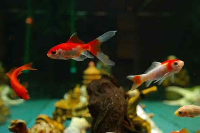 Breeding of goldfish