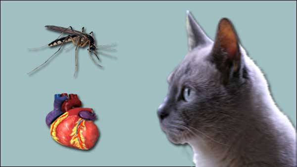 understanding feline heartworm infection disease diagnosis and treatment