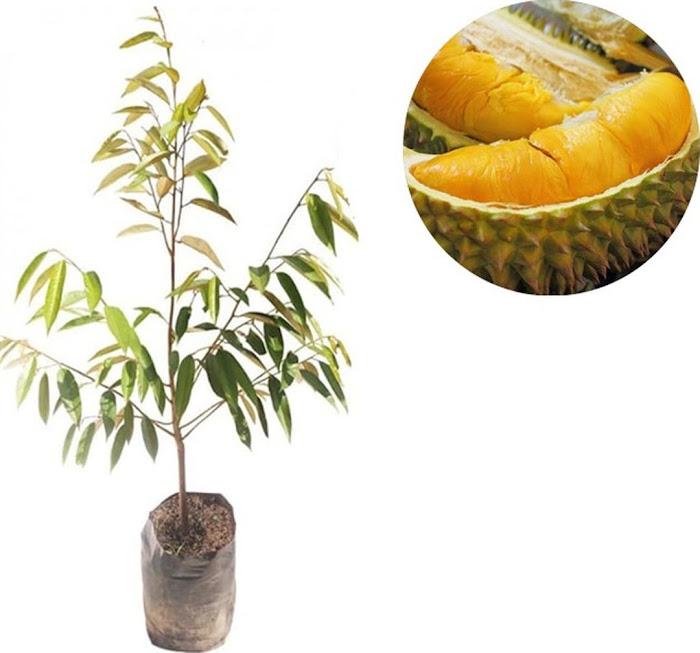 Bibit Buah Durian Monthong Montong 70 cm Padangpanjang