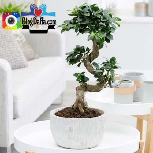 Jenis bonsai beringin Ficus Microcarpa