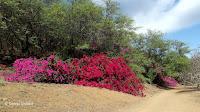 Flashy bougainvilleas near the entrance - Koko Crater Botanical Garden, Oahu, HI