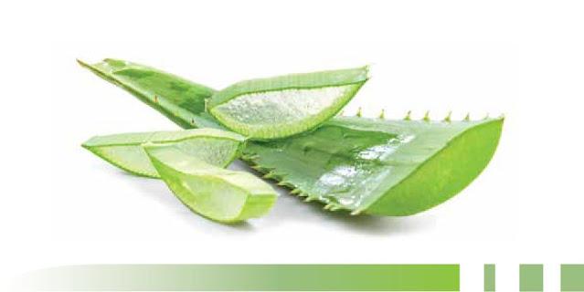 Usiamo la foglia intera dell'Aloe Arborescens