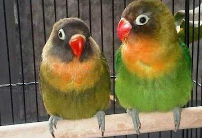 Tips Perawatan Dan Jenis Pakan Burung Lovebird Umur 3 Bulan Agar Rajin Ngekek