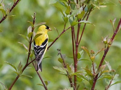 Photo of a male American Goldfinch in a sapling