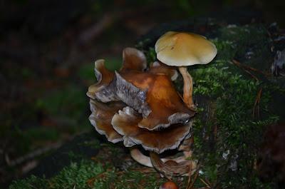 Pilze, Mushrooms, 蘑菇, キノコ, champignons, cogumelos, hongos, грибы, fongs,