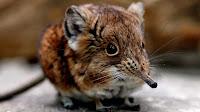Shrew animal pictures_Anathana ellioti