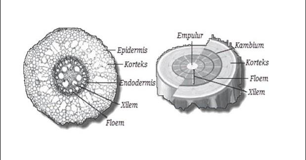 Jaringan Pada Batang Tumbuhan Beserta Fungsi Dan Gambarnya