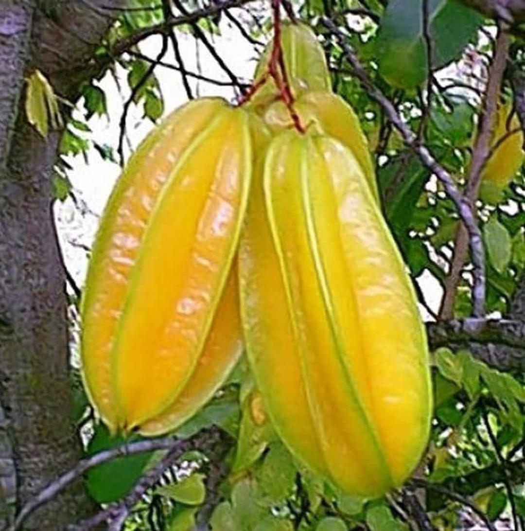 Pasti Puas! Tanaman Bibit Buah Belimbing Sembiring Okulasi Cepat Berbuah Tambulapot Kota Bogor #jual bibit buah buahan
