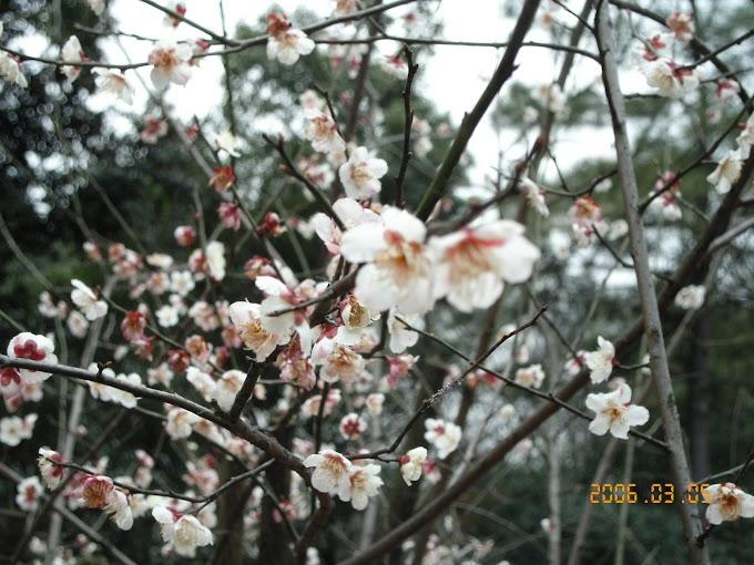 杭州靈峰探梅 2006年學長姐跟同期一起去賞花 【上部】-張傑克