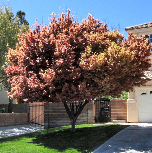 Xtremehorticulture Of The Desert Purple Leaf Plum With Pink Or Pale Leaves
