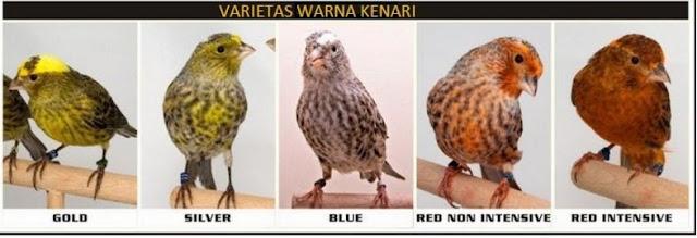 Variasi warna Kenari Lizard