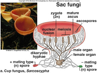 Askus yang menghasilkan askospora