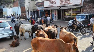 Lansia hidup bareng sapi, sapi di jalanan, sapi berkeliaran, sapi india, sapi india liar