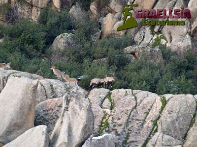 Celo de la Cabra Montés