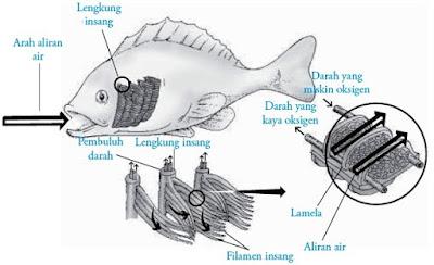 Sistem pernapasan pada ikan
