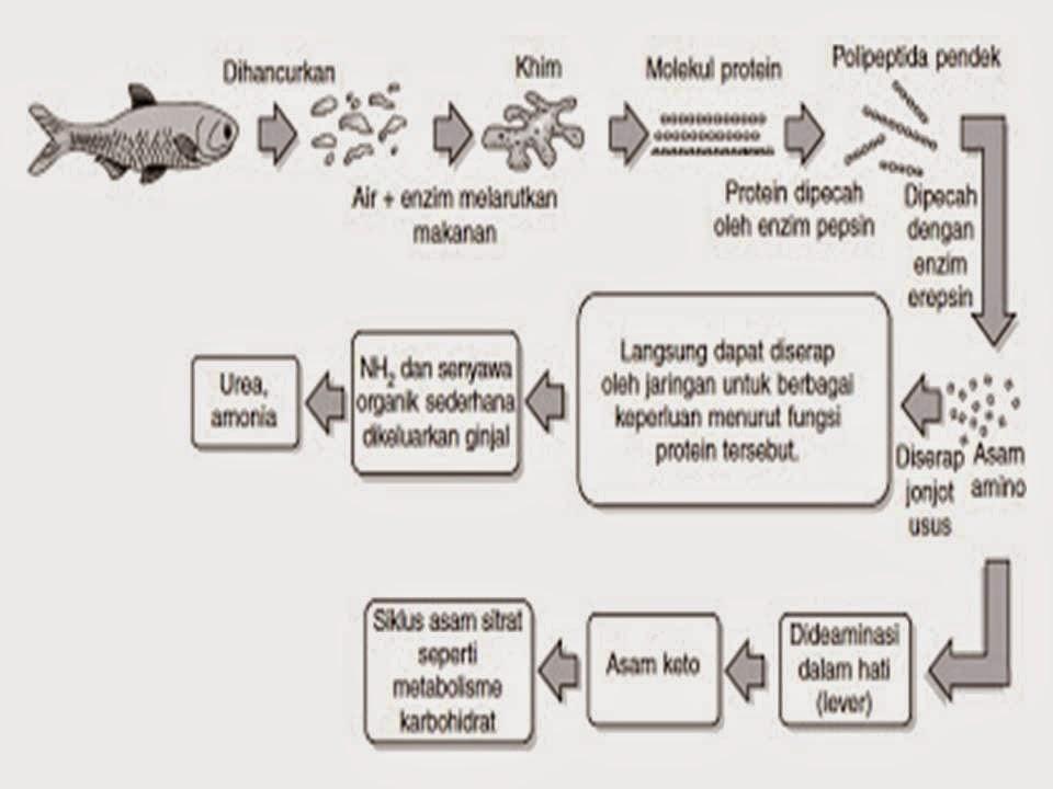 Pengertian dan Proses Metabolisme Lemak di dalam Tubuh