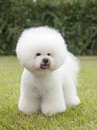 Todo sobre el precioso perro Bichón Frisé