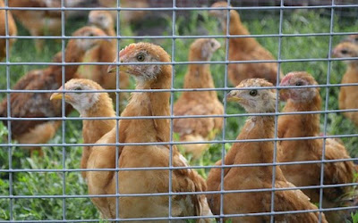 persiapan kandang ayam petelur