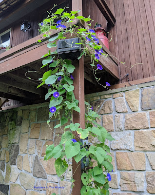 Morning glory vine growing up and across a porch