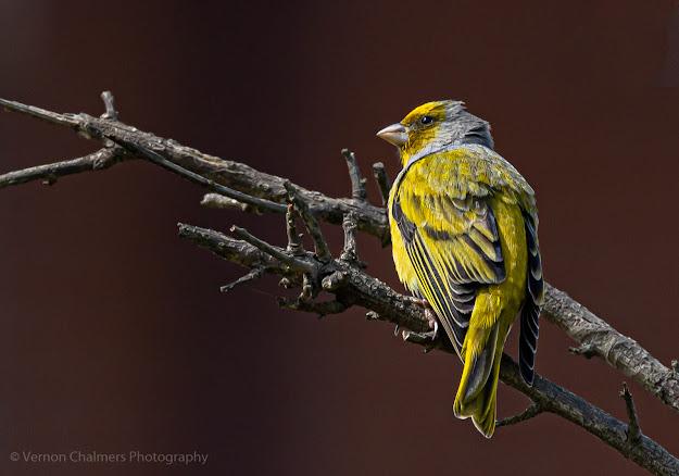 Cape canary perched - Canon EOS R6