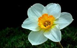 Narcissus  (नर्सिसिस) in Hindi