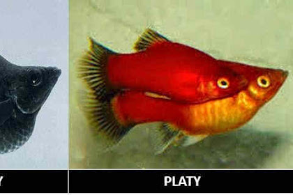 Cara Budidaya Ikan Hias Endemik Live Bearer Indonesia