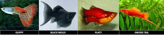 Jenis Ikan Hias Endemik Indonesia