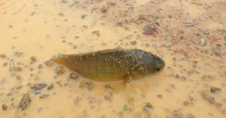 Tırmaşık balığı sığ sularda ya da susuz topraklarda günlerce durabilir.