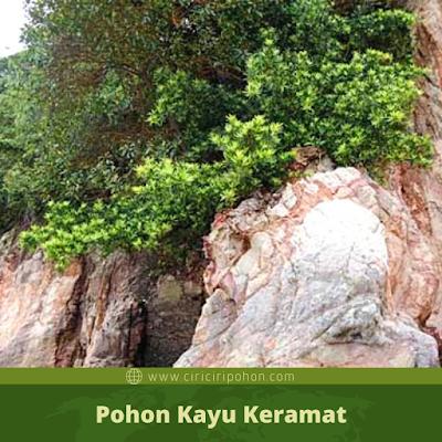 Pohon Kayu Keramat