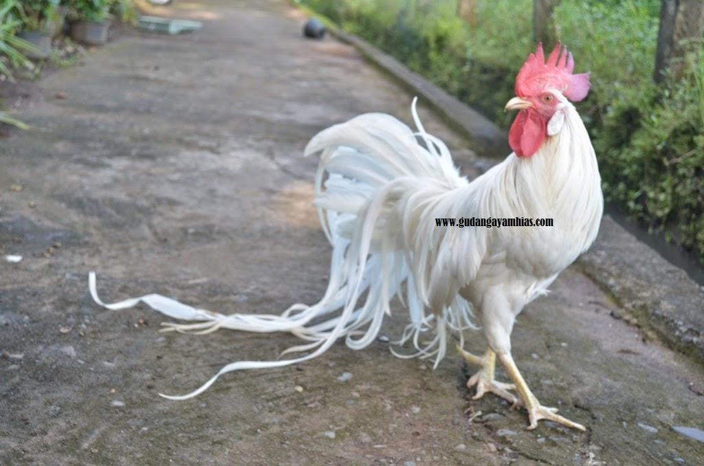 Ayam Hias Onagadori