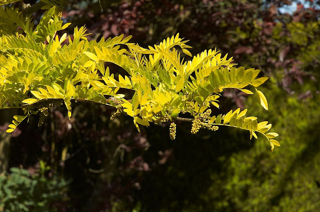 Gleditsia, árbol urbano y de jardín