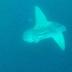 Kemunculan Ikan Mola Mola di Perairan Teluk Cenderawasih Kabupaten Nabire