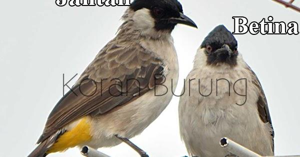 Cara Membedakan Burung Kutilang Jantan Dan Betina