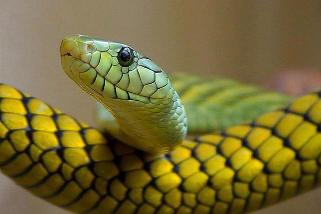 إليك قائمة يوجد بها أخطر أنواع الثعابين السامة في العالم