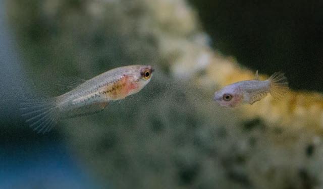 Pakan Anakan Ikan Atau Burayak Ikan Agar Cepat Besar