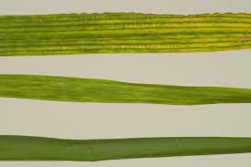 Bacterial mosaic of Wheat